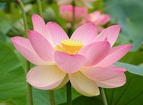 280px-Nelumno_nucifera_open_flower_-_botanic_garden_adelaide2